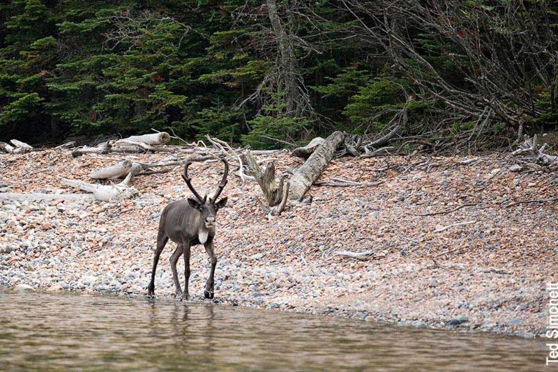 slate-caribou