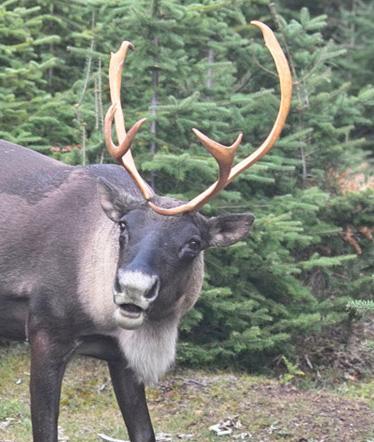 slate-island-caribou