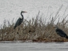great-blue-herons